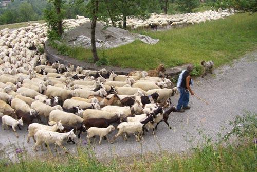 Pecore. Gregge. 003