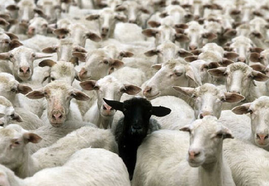 Pecore. Gregge. 006