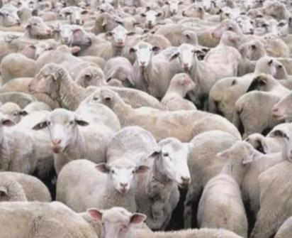 Pecore. Gregge. 007