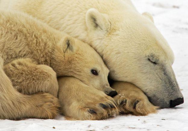 Orso Polare 001