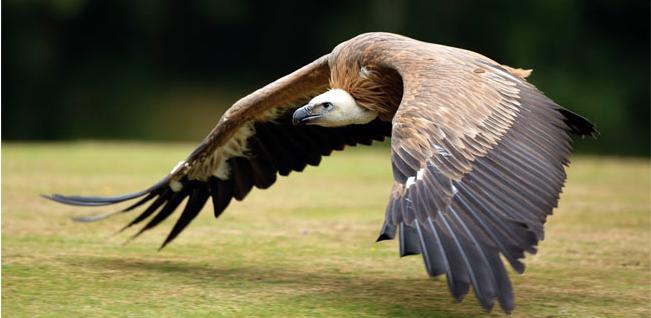 Avvoltoio 013