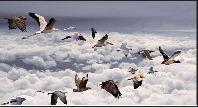 Uccelli Migratori 013