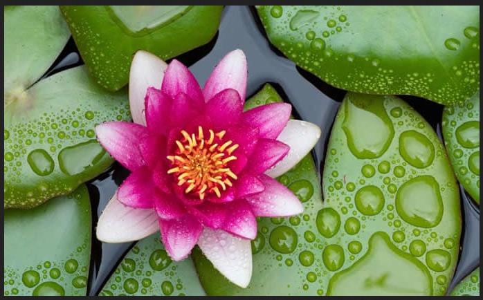 Cina 015 Fiore di loto