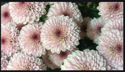 Crisantemo 013